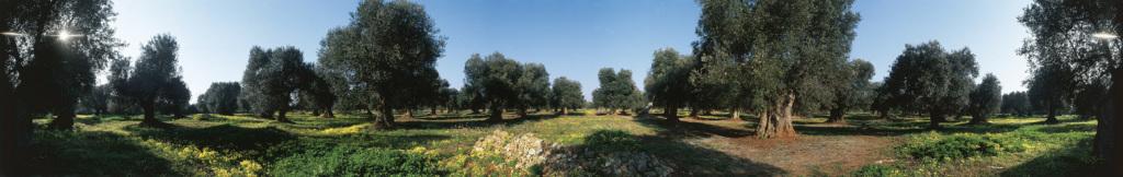 Ulivi Millenari in Puglia